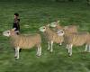 sheep flock shepherd
