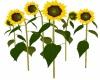 *M* Sunflowers