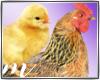 AM: Chick & Hen Enhancer