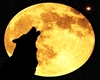 HOWLING at the moon pic